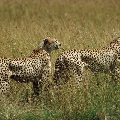 cheetahs-on-the-hunt