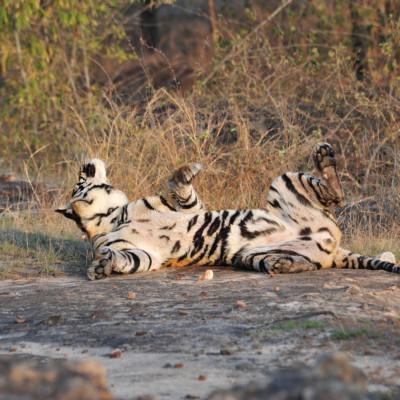 pussy-cat-tiger