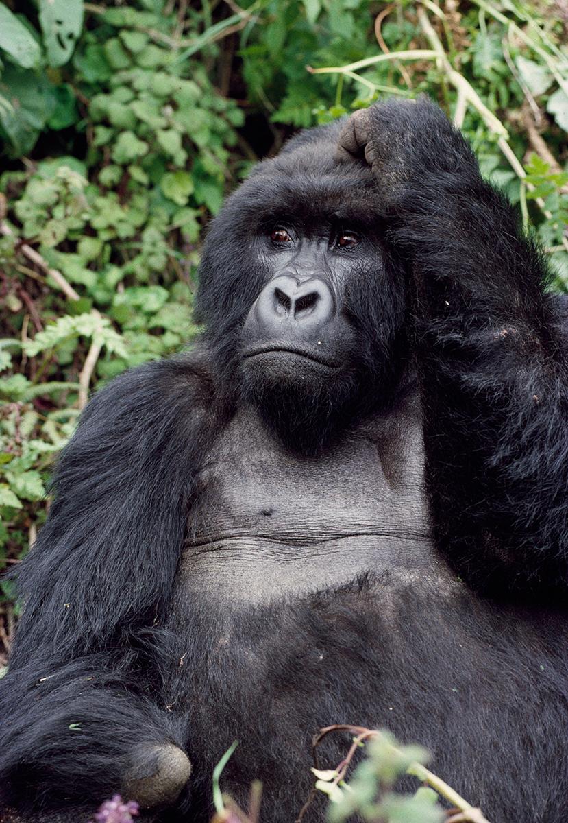 silverback-mountain-gorilla